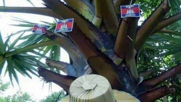 Cambodian Palm Tree